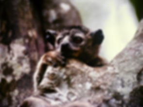 White-footed Sportive Lemur 06, Berenty,