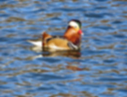 Mandarin Duck 190117-1, Cannop Ponds, Fo