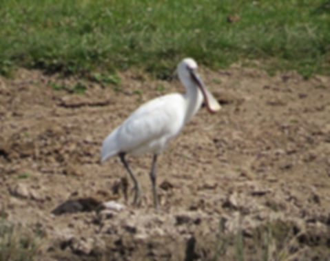 Spoonbill 180624-05, Slimbridge, 24_6_18