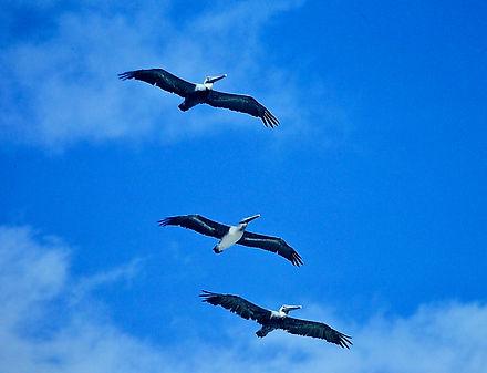 Brown Pelican 07a, Carolina, 10_87.jpg