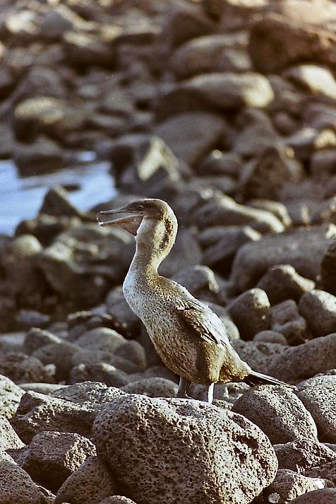 Flightless Cormorant 03a, Fernandina, Ga