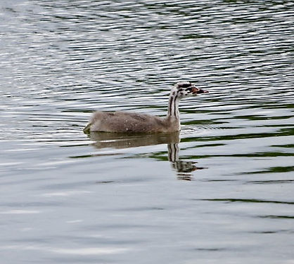 Great Crested Grebe, juv 01, Slimbridge,