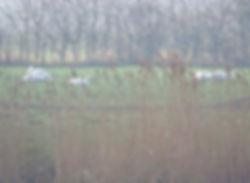 Whooper Swans, Longney, 14-2-19.jpg