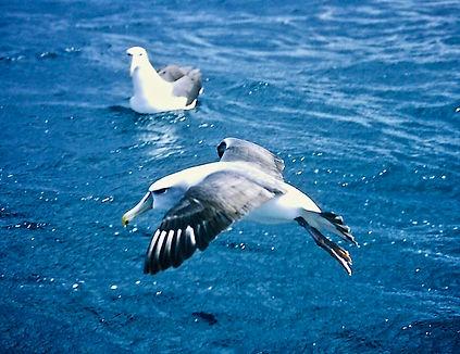Shy Albatross 40aa, Stewart Is NZ, 17-11