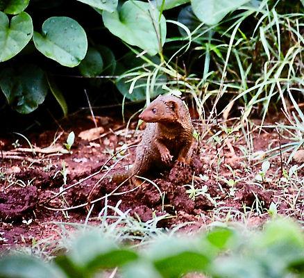 Eastern Dwarf Mongoose 02a, Kenya, 12_88