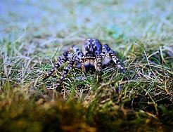 Steppe Tarantula 01a, Hungary, 10_96.jpg