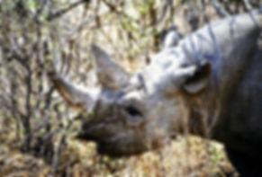 Black Rhinoceros 09a, Zimbabwe, 9_98.jpg