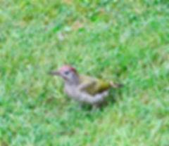 Green Woodpecker, Elm Lodge, 11_8_19 06.