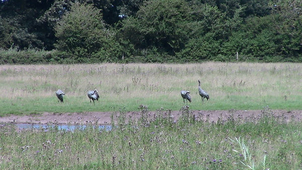 Common Crane 05, Slimbridge, 22-7-12.jpg