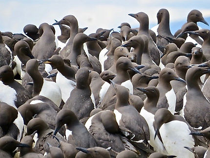 Guillemot 08, Farne Islands, 6_6_19.jpg