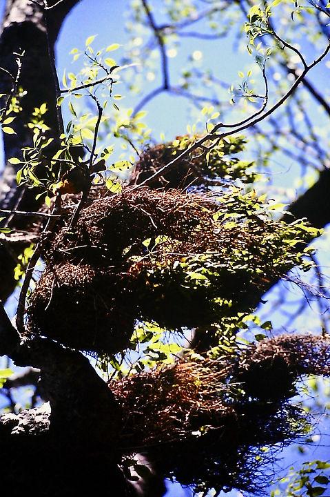 Sakalava Weaver 01a, Madagascar, 9-11-88