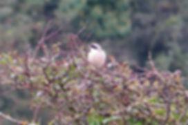 Lesser Grey Shrike 05a, Jennycliff, 20_9