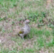 Green Woodpecker 180818-4, Juv, Elm Lodg