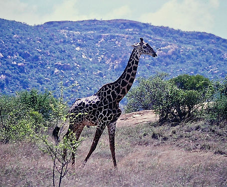 Reticulated Giraffe 03a, Kenya, 4_12_88.