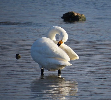 Bewick's Swan 181122-3, Slimbridge.jpg