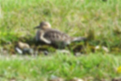 Buff-breasted Sandpiper 04a, Davidstow,