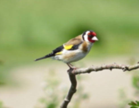 Goldfinch 180624-01, Slimbridge, 24_6_18