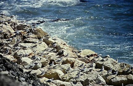 Audouin's Gull 02a, Malaga, Spain, 11-9-