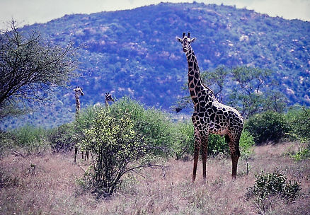 Reticulated Giraffe 02a, Kenya, 4_12_88.