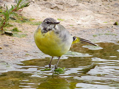 Grey Wagtail 17806, Slimbridge, 8_8_17.j