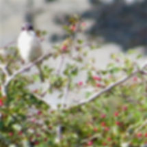 Lesser Grey Shrike 02a, Jennycliff, 20_9