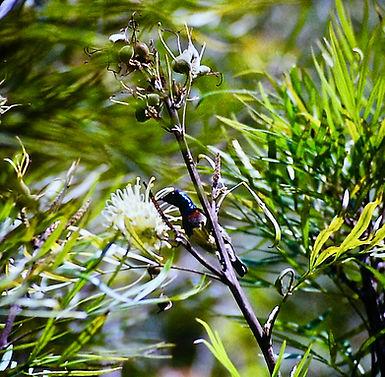 Souimanga Sunbird 03a, Perinet, Madagasc