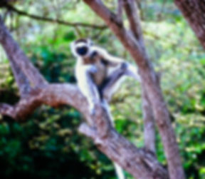 Verreaux's Sifaka 14a, Berenty, Madagasc