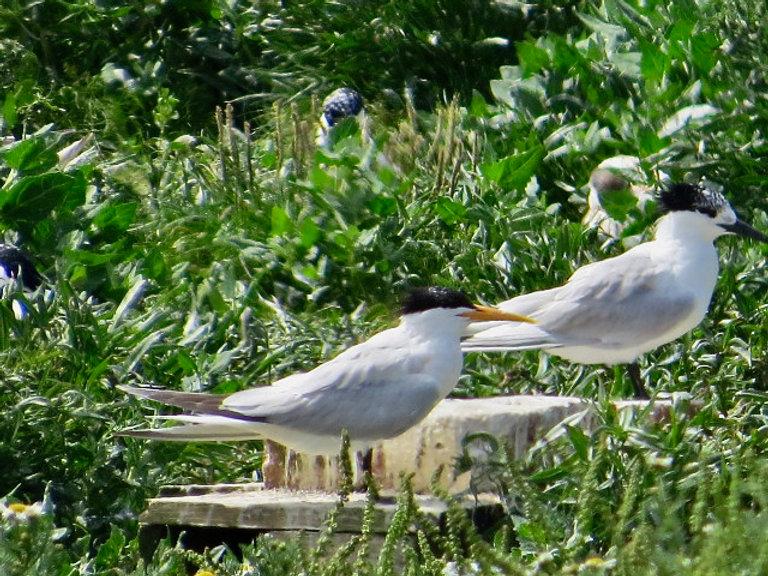 Elegant Tern 05, Cemlyn Bay, 8-7-21.jpeg