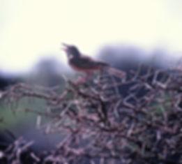 Red-winged Lark 01a, Tsavo, Kenya, Dec'8