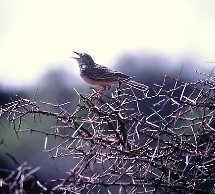 Red-winged Lark 01a, Tsavo, Kenya, Dec'8