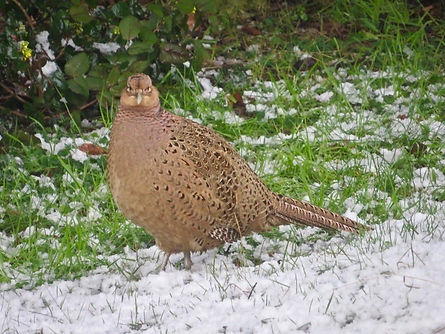 Common Pheasant 03, female, Elm Lodge, 1