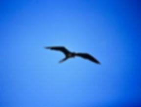 Great Frigatebird 02a, male, Tower, Gala
