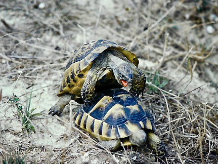 Spur-thighed Tortoise 05a, Turkey, 9_82.