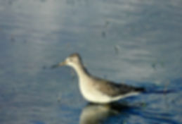 Lesser Yellowlegs 02a, Marazion, 18-10-8