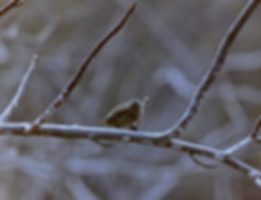 Small Tree Finch 03a, Isabela, Galapagos