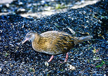 Weka 12a, Stewart Is, NZ, 19_11_93.jpg