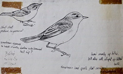 Booted Warbler, LAT 03, St. Agnes, 14_10