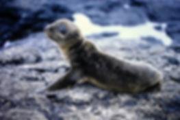 Galapagos Fur Seal 03a, Santiago, 27_7_8