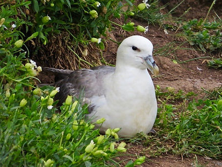 Fulmar 04, Farne Islands, 6_6_19.jpg