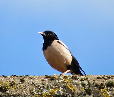 Rose-coloured Starling 01, Stone, 19:7:2