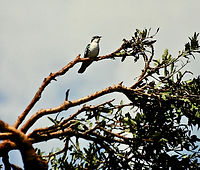 Didric Cuckoo 02a, Kenya, 12_88.jpg