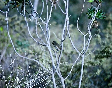 Medium Ground Finch 01a, Floreana, Galap