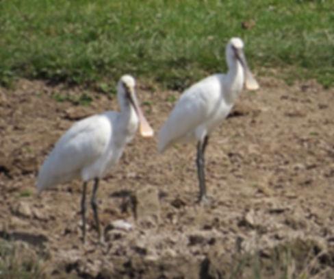 Spoonbill 180624-13, Slimbridge, 24_6_18