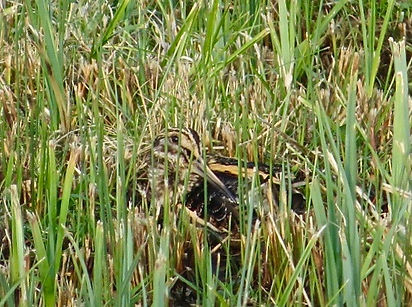 Jack Snipe 181122-3, Slimbridge.jpg