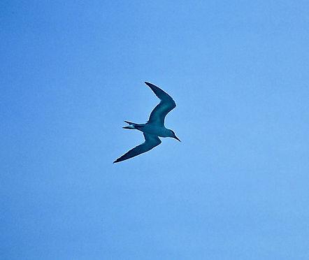 Royal Tern 01a, Carolina, 30-10-87.jpg