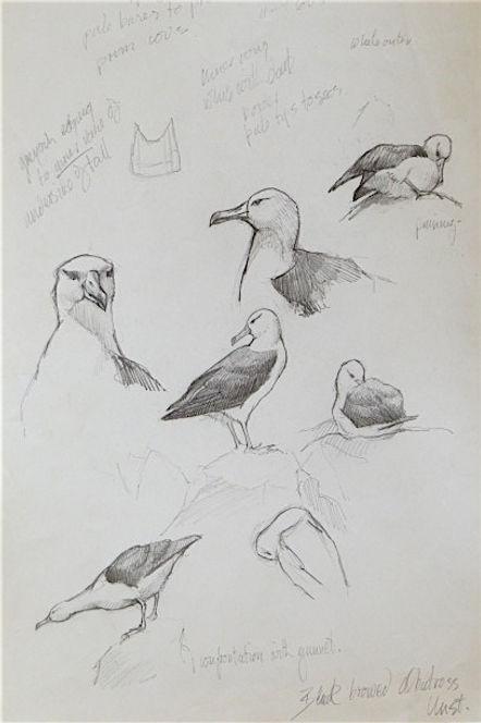Black-browed Albatross, LAT, Unst, 12_7_