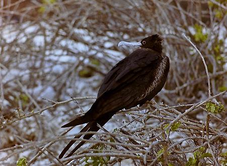 Great Frigatebird 12a, female, Tower, Ga