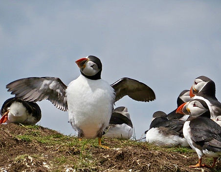 Puffin 18, Farne Islands, 6_6_19.jpg