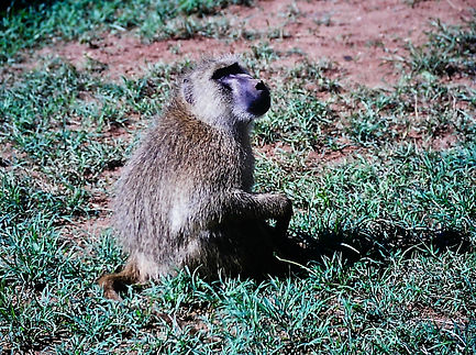 Yellow Baboon 02a, Tsavo, Kenya, 4_12_88