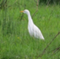 Cattle Egret 191022-05, Catcott Lows.jpg